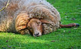 породистая овца