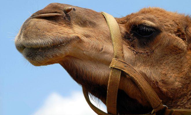 На Кубани множатся верблюды