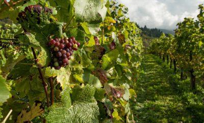 виноград виноградники