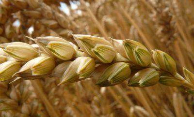 Пшеница Злаки Зерно Поле Пшеничное Поле Нива