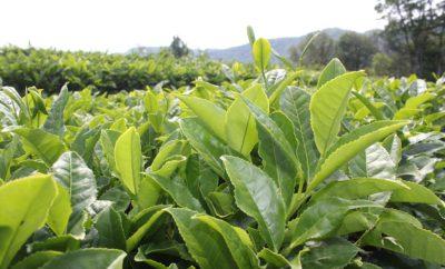чай плантация