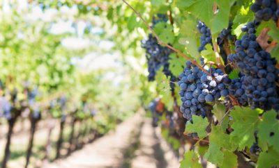 виноградник на Кубани