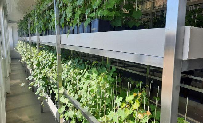 В Темрюкском районе открыли инновационную лабораторию ускоренной репродукции винограда